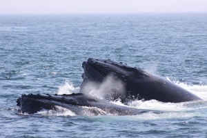 Whales in the Bay of Fundy